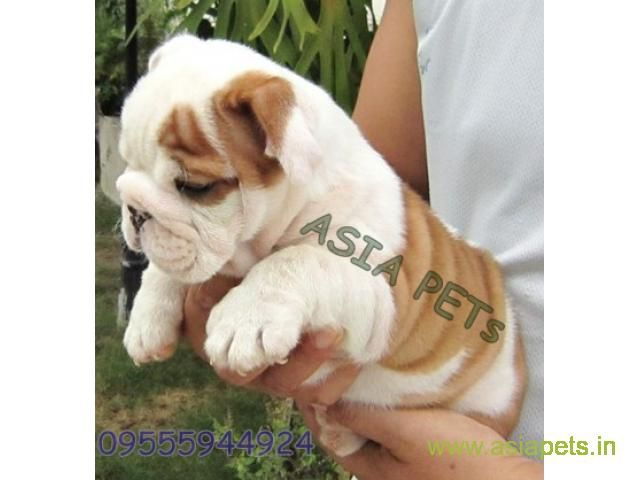 Bulldog For Sale In Dehradun At Best Price