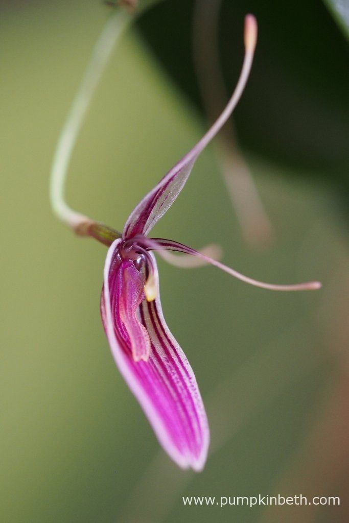 Restrepia purpurea 'Rayas Vino Tinto' has flowered so prolifically, this…