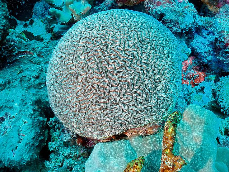 The brain coral Ctenella chagius is endemic to the reefs of the Chagos Archipelago