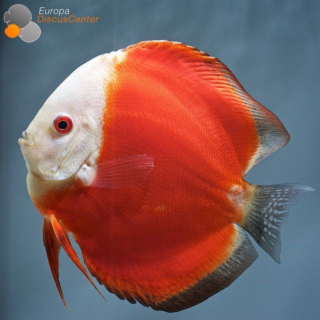 Red Melon Discus #discus #diskus #aquarium #symphysodon #tropicalfish #discusfarm #discusfish #fish #discusbreeding #fishfarm #fishtank #fishkeeper #freshwater #discushatchery #freshwaterfish #ディスカス #アクアリウム #魚 #水槽 #熱帯魚 #tropical #breeding #breedingfarm #cichlids #cichliden #cichlid #七彩神仙 #süßwasserfische #süßwasserfisch