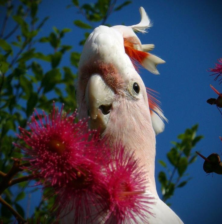 Photo competition: Australiana  Entry from: Merryl Kemp   Image title: Major Mitchel in a flowering gum tree.  Digital camera: SLR digital camera panasonic DMC - FZ8. f/8. 1/400. ISO 100