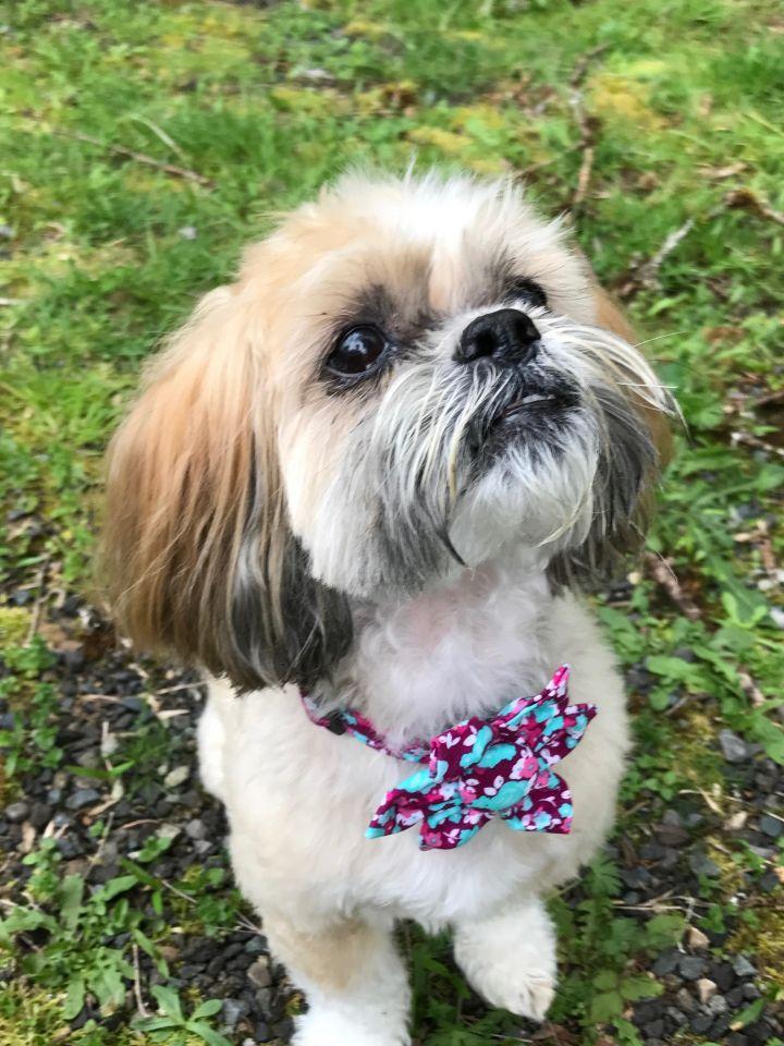 Adopt Maddie On Puppy Adoption Shih Tzu Dog Shih Tzu