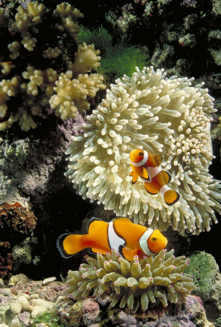 Underwater iphone wallpaper - Underwater Scene Clown Fish In A Reef Ocean Sea Life Iphone Wallpaper