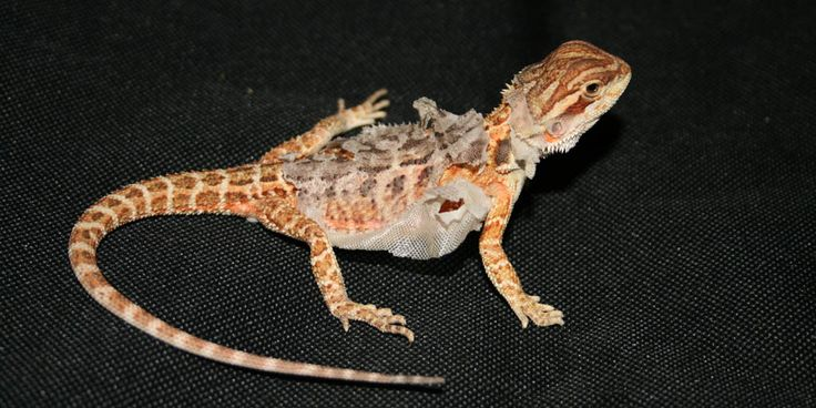 Supplying the correct humidity for pet Bearded dragons There are two main environmental variables Bearded dragon keepers need to ensure (i.e. temperature and light), but what about humidity? Although, admittedly, often not something to worry about, incorrect humidity in an enclosed environment can lead to all sorts of problems. http://www.beardeddragons.co.za/the-correct-humidity-for-pet-bearded-dragons/