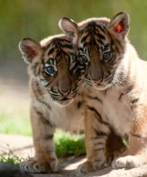 Baby Tiger Cubs by penpen                                                                                                                                                                                 More