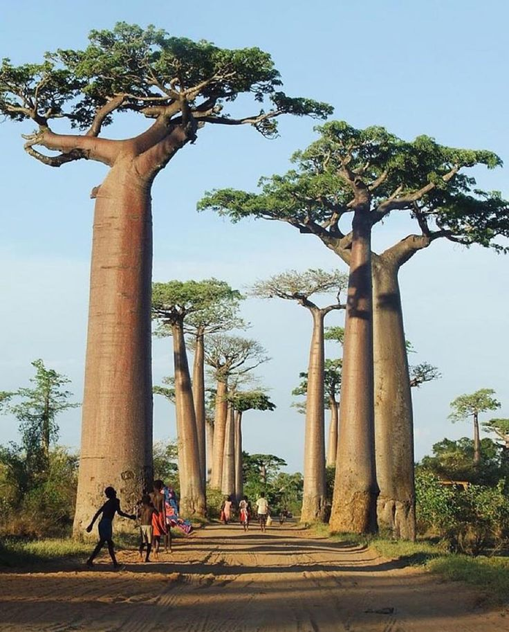 """welivetoexplore: """"Follow @travlink for the most incredible photos of travel & adventure! @travlink Avenue of the Baobabs Madagascar 