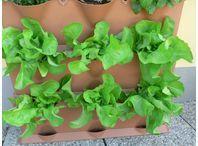 Rostlina | Lactuca sativa var. capitata, Salát hlávkový