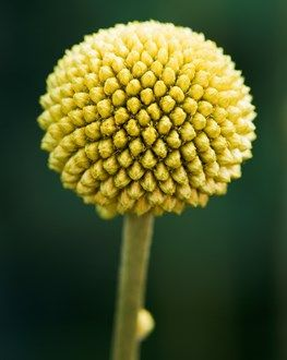 Billy Buttons: Also called drumsticks, this native of Australia and New Zealand can be perennial on the West Coast but is generally replanted every year as an annual in other places.
