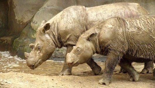 As the endangered Sumatran rhinoceros teeters near extinction, scientists are racing to maintain a premier captive breeding population at the Cincinnati Zoo.