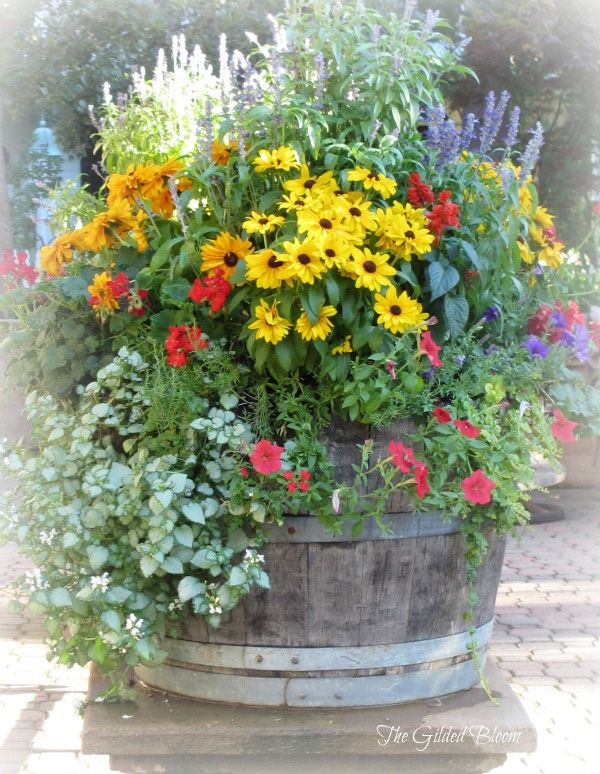 wine barrel garden - tall salvia, yellow rudbeckia & climbing petunias trail out of the barrel.