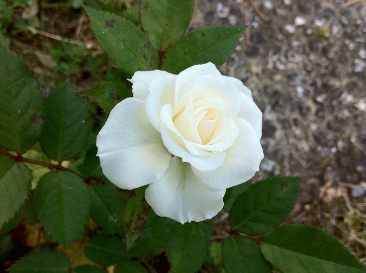 La prima rosa nata nel mio giardino