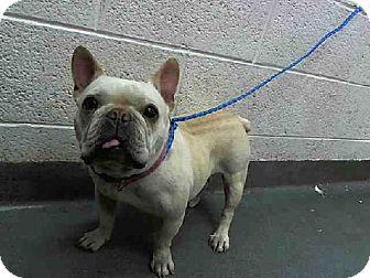 Miami, FL - French Bulldog Mix. Meet BAMBI, a dog for adoption. ID#: 7494154-A1638205 Shelter: Miami Dade Animal Services Pet ID #: 7494154-A1638205 Phone: (305) 884-1101 Website: http://www.miamidade.gov/animals Address: 7401 NW 74th Street Miami, FL 33166 http://www.adoptapet.com/pet/11437382-miami-florida-french-bulldog-mix