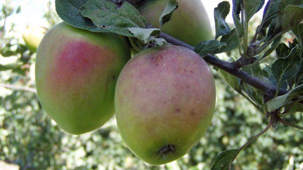 Æble Bodil Neergaard. Æblet. Spise og Madæble.  Et mellemstort æble, farven er på træet grøn med et anstrøg af gråligrødt på solsiden. Skifter ved modenhed til Kanariegul, huden er vokset og bliver fedtet. Kødet er hvidgult med et grønligt skær. Saftigt skørt og med en fin krydret smag, duften fin og kraftig. Foto: Pometet, Københavns Universitet.
