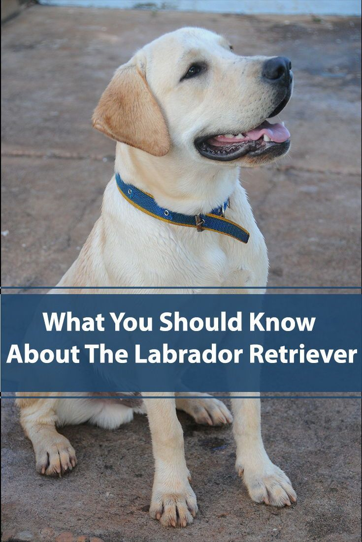 Labradors 101 Interesting Facts About The Most Popular Dog In