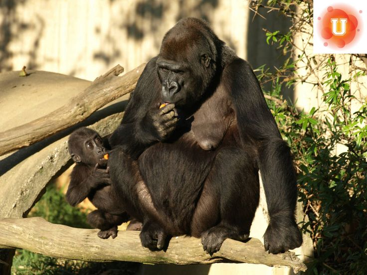Gorillas and gray wolves are among some of the endangered animals that have been killed by humans in self-defense. Which life has a higher value, the overpopulated human or the animal at risk of extinction?