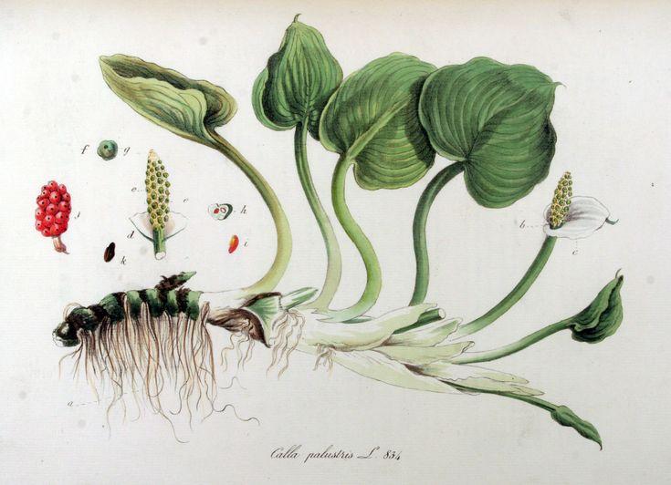 Calla_palustris_—_Flora_Batava_—_Volume_v11.jpg 2.542×1.840 pixels