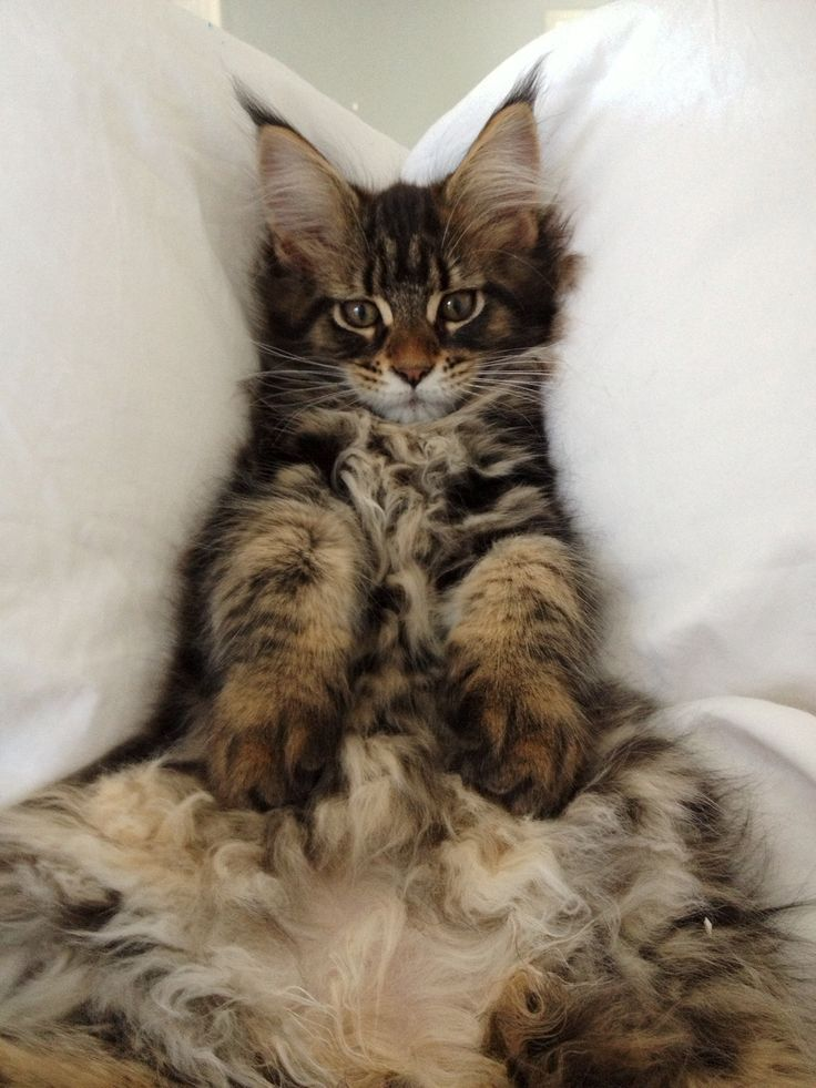Maine coon cats 1 year old