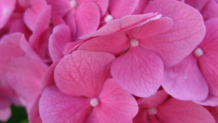 Обои на рабочий стол Цветы:Цветы, Макро, Гортензия - скачать бесплатно. | Обои-на-стол.com