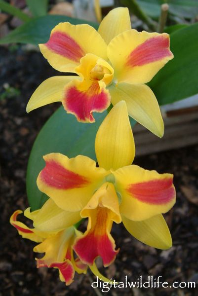 Slc: Sophrolaeliocattleya Fire Lighter 'Wow' X Potinara Jack Crawford ( Sophrolaeliocattleya X Potinara) - This Cattleya Hybrid Mix Orchid produces small compact flowers that are a vibrant bright-yellow with bold-red highlights.