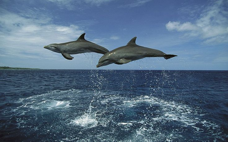 A pair of synchronised dolphins leap high out of the clear blue sea in the Caribbean, copying each others' every move.  by Konrad Wothe Photography