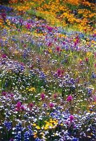 TX Wildflowers