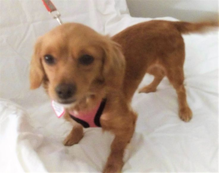 Hi I'm Misty ! Santa told me that your heart's desire is a #bestfriend who is a #young #longhaired #dachshund girl will be your only #dog! I'm waiting on you, santa says you'll have to get my #adoption papers filled out.