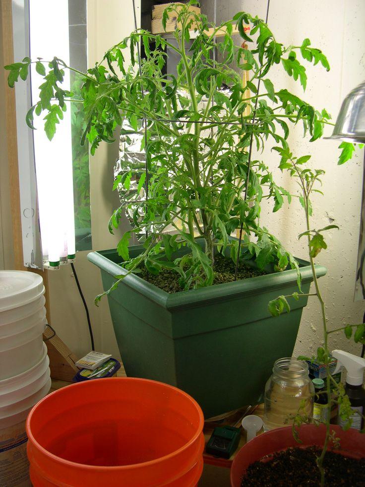 die besten 25 hydroponische tomaten ideen auf pinterest tomaten z chten anbau von. Black Bedroom Furniture Sets. Home Design Ideas