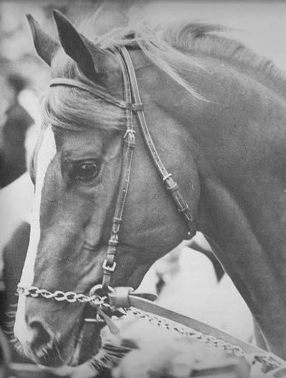 Viceregal ~ 1966 son of Northern Dancer, out of Victoria Regina. A champion at 2 & 1968 Canadian Horse of the Year. He was undefeated in 8 races & was sent to America for the Kentucky Derby in early 1969 & finished third in a minor prep race after injuring himself. It was found that he had broken a bone in his forefoot, and he was retired. He stood stud in several countries before being exported to Japan in 1978. He sired stakes winners Regal Bearing, Regal Gal, Regal Quillo, and Fairly…