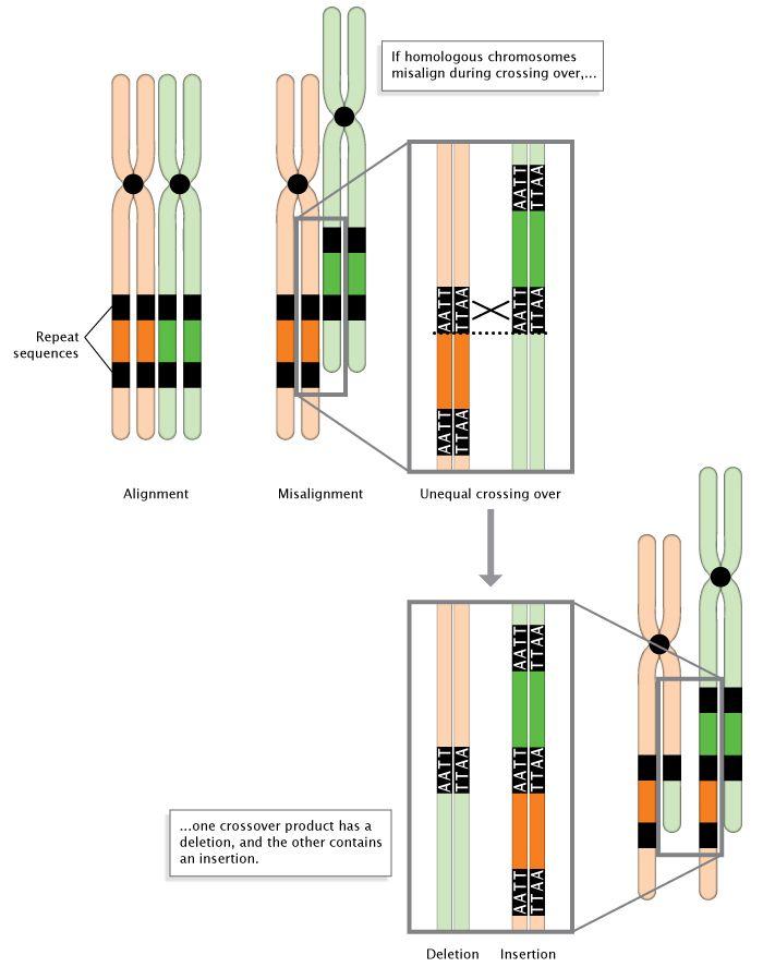 Anisos Epixiasmos Diplasiasmos Elleipsh A Schematic Diagram Shows Unequal Crossing Over Occurring In Misaligned Homologo Genetic Mutation Chromosome Mutation