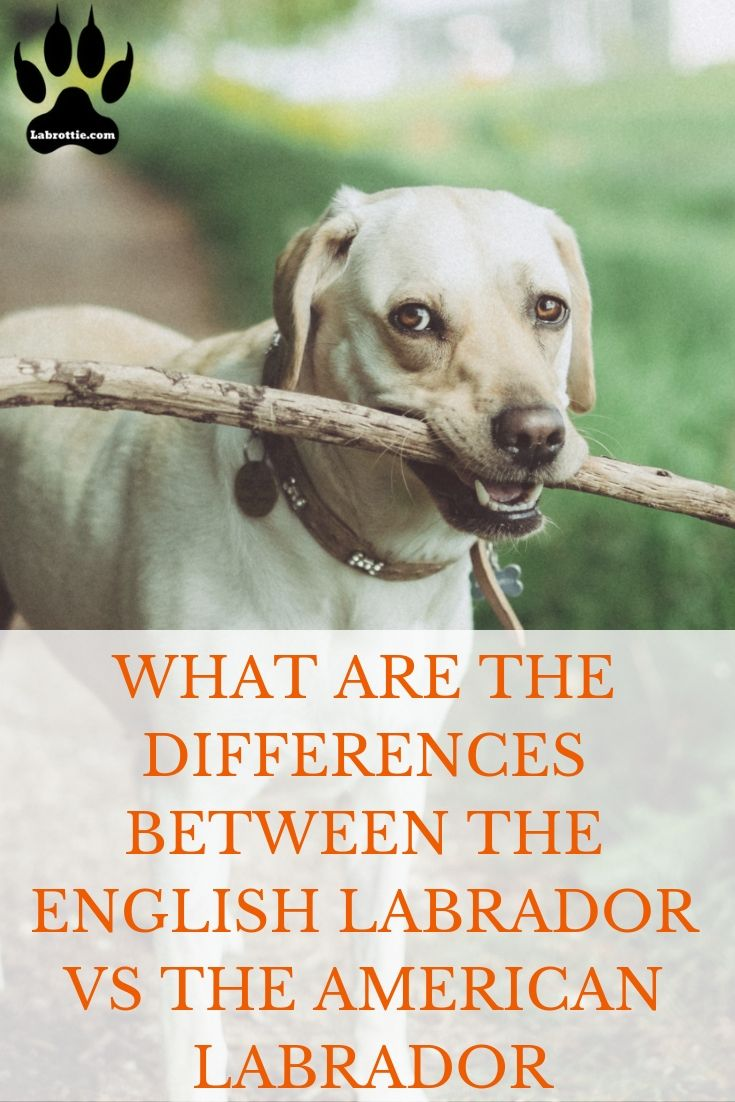 The English Lab Vs American Labrador Retriever American Labrador