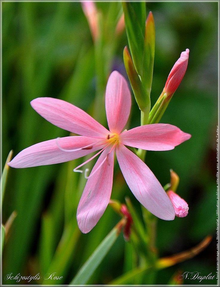 Fleur glaieul ecarlate fleur schizostylis rose