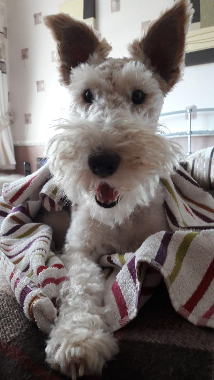 950 best Wire Fox Terrier images on Pinterest | Wire Fox Terrier ...