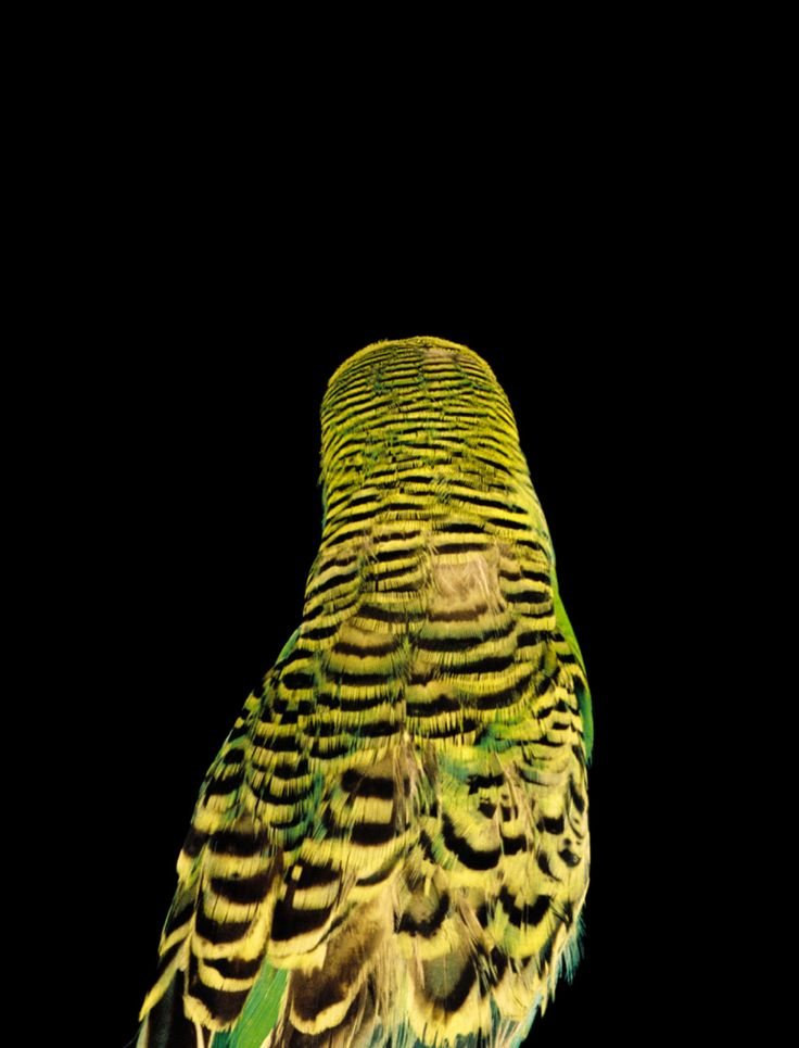 353 Best Parakeets Images On Pinterest Budgies