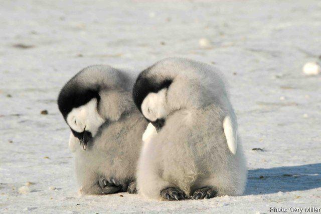 Penguin Chicks Struggle To Survive | Planet Earth | BBC ...