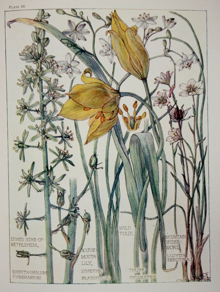 1910 Botanical Print by H. Isabel Adams: Lily by PaperPopinjay