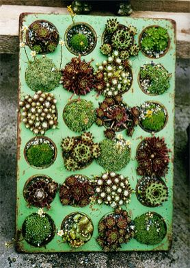 Miniature Succulent Gardens Planted In Muffin Tins Plant