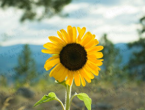 Sunflower photo flower picture yellow sunshine by Turtlesandpeace