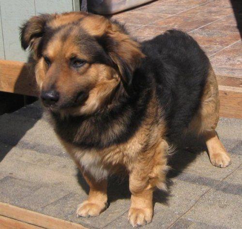 corgi german shepherd mix, corgi mixed breeds