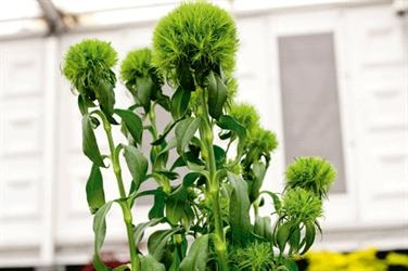 Dianthus barbatus 'Green Trick' - image: HW-used in floral arrangements too.