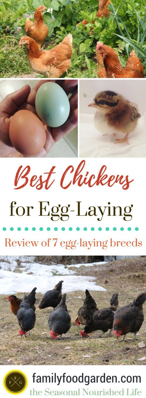 Best Egg-Laying Hens