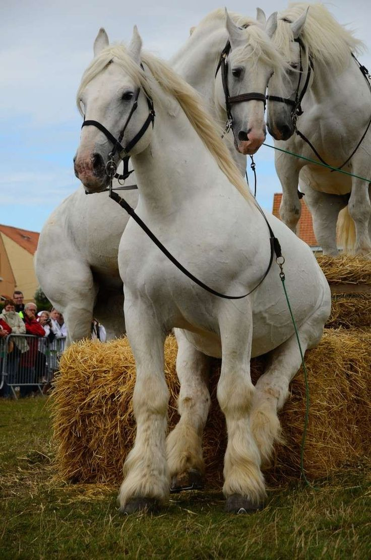 Move over, Charlie, my face isn't in the picture! Boulonnais draft horses
