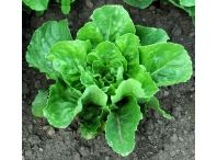 Rostlina | Lactuca romana, Salát římský