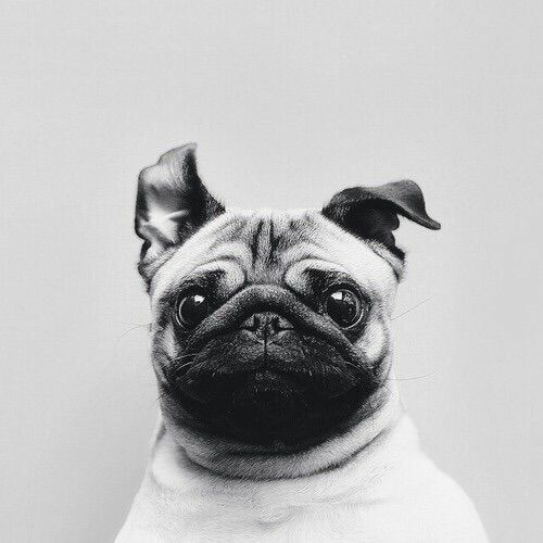 Image via We Heart It https://weheartit.com/entry/144931212/via/5149254 #animal #animals #blackandwhite #cute #dog #dogs #forever