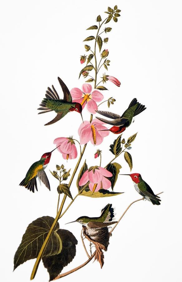 AUDUBON: HUMMINGBIRD. Anna's (or Columbian) hummingbird, from John James Audubon's 'The Birds of America', 1827-1838.