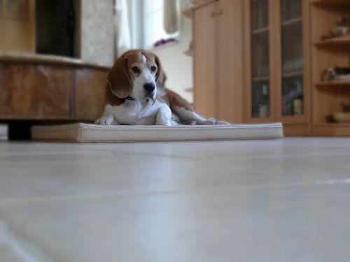 Aus der Kategorie Betten  gibt es, zum Preis von EUR 55,00  Hundematte MARLEY Wir bieten Ihnen die abgebildeten Hundebetten in 4 Größen und in verschiedenen Farben an. Das Hundebett ist aus Kunstleder Das Bett ist robust & bequem - sehr gut für alle Hunde. MARLEY M (70 x 90cm) für mittlere Hunderassen - bis ca.45cm, Cocker Spaniel, Beagle, Whippet, Mittelpudel , Bullterrier MARLEY L (90 x 120cm) für große Hunderassen - bis ca.55cm Border Collie, Labrador u. Golden Retriever, English Setter…