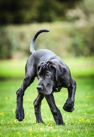 Cat Race - Great Dane puppy - Cat Race/Kennel Club/REX