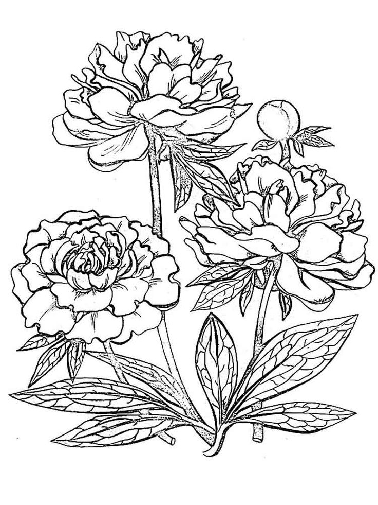 Peony Flower coloring pages. Download and print Peony ...