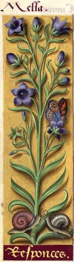 Responces - Mella (Campanula Rapunculus L. = raiponce) -- Grandes Heures d'Anne de Bretagne, BNF, Ms Latin 9474, 1503-1508, f°31v