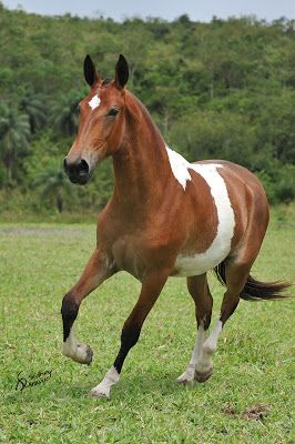 champion, Pernambuco Inheritance (Pillar of Hibipeba x Cheeky of Acarajá) clicked by talented photographer horse Sidney Araújo.