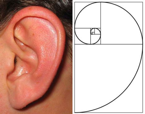The human ear conforms to the shape of the golden spiral. This shape helps collect sound waves and direct them to the inner ear.